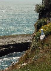 A couple's nesting phase (John 3000) Tags: california statepark county ca santacruz nature coast mar seagull gull natureza aves pjaros pacificocean ornithology gaviota nesting wilderranch