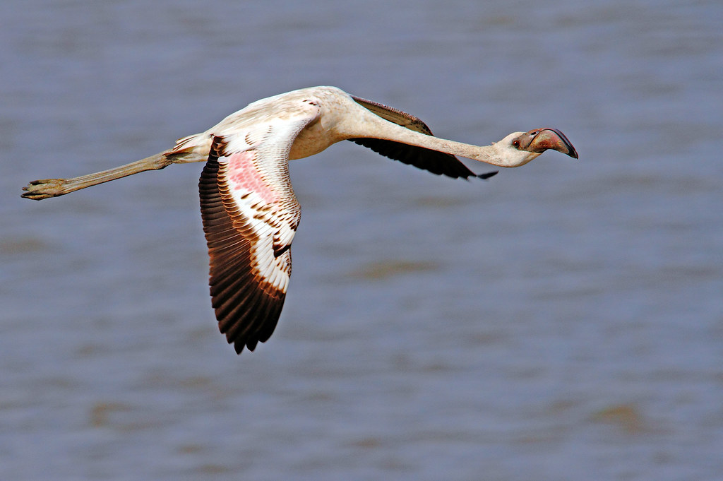 2011_05_05_023099_Flamingo_Moulting_flight