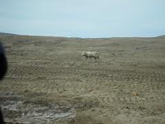 Anglų lietuvių žodynas. Žodis arctic wolf reiškia arkties vilkas lietuviškai.