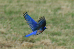 Western Bluebird Photo