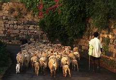When the sheep come home (jmanj) Tags: india evening sheep shepherd streetphotography karnataka tippusultan johannesmanjrekar srirangapatnafort