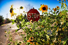 Stop... and smell the flowers! (William L Giles) Tags: street newmexico sign corner stop sunflowers intersection lascruces