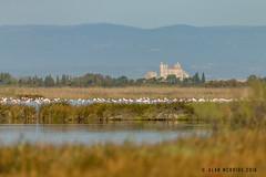 Greater Flamingo 1DX12185.jpg (alanmcbride1) Tags: bird birds narbonne france greaterflamingo aude languedoc gruissan