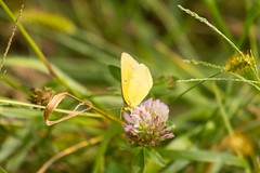 7K8A9916 (rpealit) Tags: scenery wildlife nature mahlon dickerson reservation snow bowl jefferson twp orange sulphur butterfly