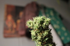 Cachilupis sativos (ValVolanchina) Tags: marihuana cannabis