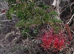 Grevillea bipinnatifida ssp bipinnatifida, Ellis Brook Valley, near Perth, WA, 18/08/16 (Russell Cumming) Tags: plant grevillea grevilleabipinnatifida grevilleabipinnatifidabipinnatifida proteaceae ellisbrookvalley perth westernaustralia
