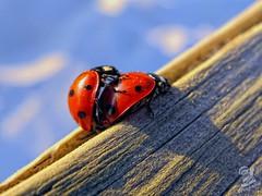 La Primavera......la sangre altera (Urugallu) Tags: insectos canon rojo flickr powershot ladybird g12 copulando coccinellidae mariquitas coleptero coccinelidos cucujoidea copulacion urugallu mygearandme