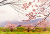 A sight in pastel colors (y2-hiro) Tags: pink colors japan cherry landscape spring nikon blossoms nara d300