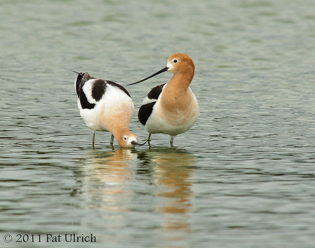 American avocets in love - Pat Ulrich Wildlife Photography