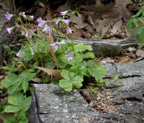 3.29.11 | Flowering Oxalis