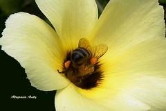 AbejaTrabajando/Honey Bee Working (Altagracia Aristy Sánchez) Tags: américa dominicanrepublic bee tropic caribbean abeja antilles laromana caribe repúblicadominicana trópico antillas turnera quisqueya altagraciaaristy fujifilmfinepixhs10 fujihs10 fujifinepixhs10 caraibï caraïbi