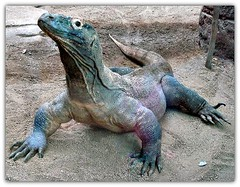 Dragn de Komodo (Varanus komodoensis) (NCR1975) Tags: zoo reptile bcn lagarto komodo reptil zoodebarcelona reproduccin varanuskomodoensis cautividad dragndekomodo dracdekomodo