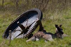 Awaiting repairs (Geoff Main) Tags: nationalpark australia kangaroo act easterngreykangaroo orroralvalley namadginationalpark canonef100400f4556lisusm canon7d