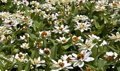 Campo De Margaritas. (Joaquin Atrasto  - @JCDAtrasto) Tags: flowers naturaleza flores nature canon eos 2011 50d masterphotos canoneos50d flickraward jcdatrasto margaritasdaisies mygearandme