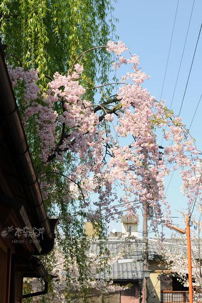 垂櫻和楊柳