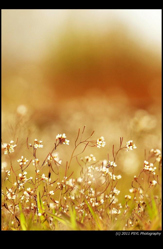 Whitlow-Grass (Draba spp.)