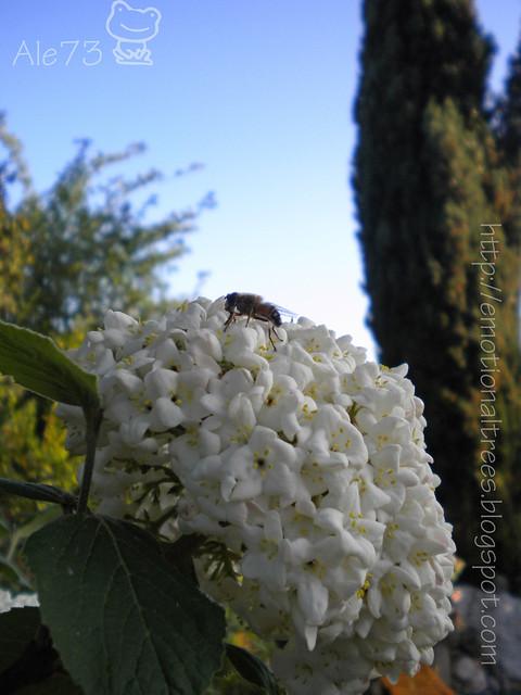viburno con ape.JPG