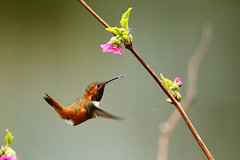 I'm Hooked on You! (jessi.bryan) Tags: cute bird hummingbird rufoushummingbird nisquallywildliferefuge