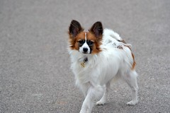 Cody (Pappup2010) Tags: dog pet white cute animal butterfly puppy toy small sable papillon pup pap toybreed butterflydog whiteandsable