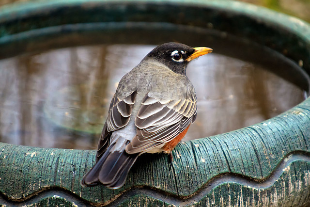 Mr. Robin at the Bird Bath.