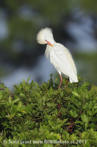 Preening Cattle Egret by Scott Grant