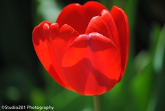 A Single Tulip (Studio281Photos) Tags: red flower nature spring tulip catchy