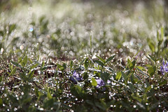 just dots... (..Ania.) Tags: morning grass spring bokeh morningsun vinca