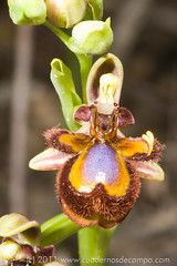 20110413-Ophrys-speculum