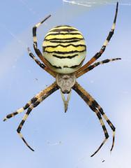Wasp spider ( Female)  (Argiope bruennichi ) OTHER PICTURES BELOW. (Sandra Standbridge.) Tags: life wild insect spider wasp spiders the 8legs argiopebruennichi waspspider fantasticnature