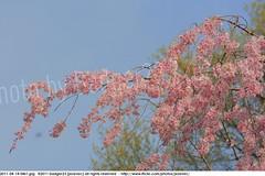 2011-04-14 0461 Sakura, Prunus serrulata, the weeping cherry tree blossoms (Badger 23 / jezevec) Tags: park pink flowers flower tree cherry spring blossom indianapolis blossoms indiana anh bloom  flowering sakura blooms holliday weeping hoa blooming prunus cerezo weepingcherry    kirschblte   jezevec cvijet serrulata shidarezakura prunusserrulata o krsbr   cseresznyevirg japanskt  hoaanho kirsuberjatr badger23 namumulaklak  trenjin    seresang trenjincvijet