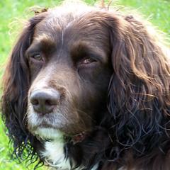 Benjy - a real lifesaver (billnbenj) Tags: dog king cumbria spaniel springerspaniel barrow benjy kingofhowtunwoods