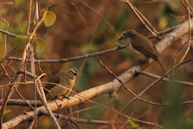 Pair of white browed bulbul