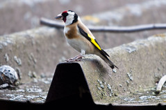 A Goldfinch (Carduelis carduelis) on the roof (frankps) Tags: goldfinch cardueliscarduelis mindszent tengelic