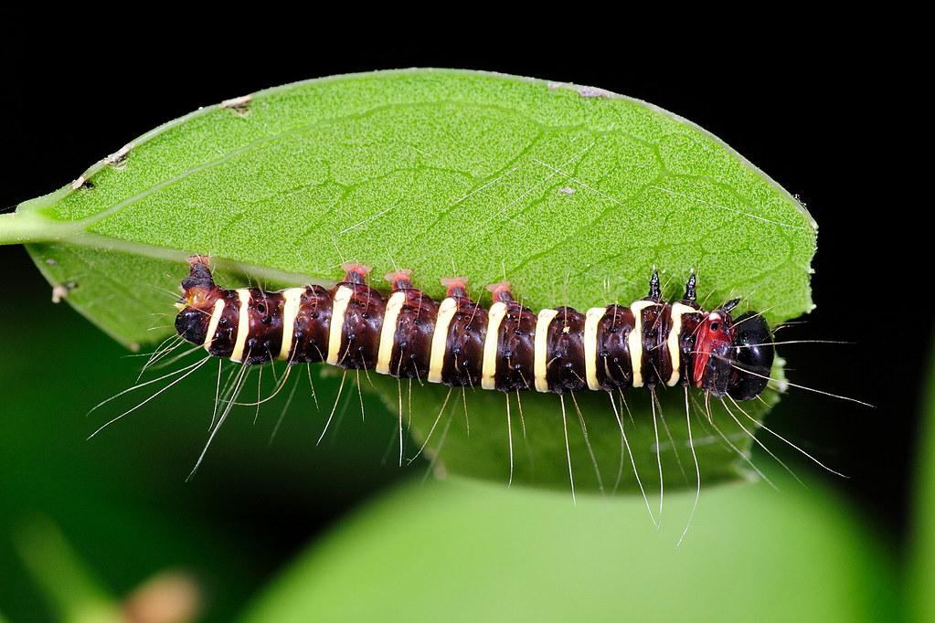 長斑擬燈蛾的幼蟲