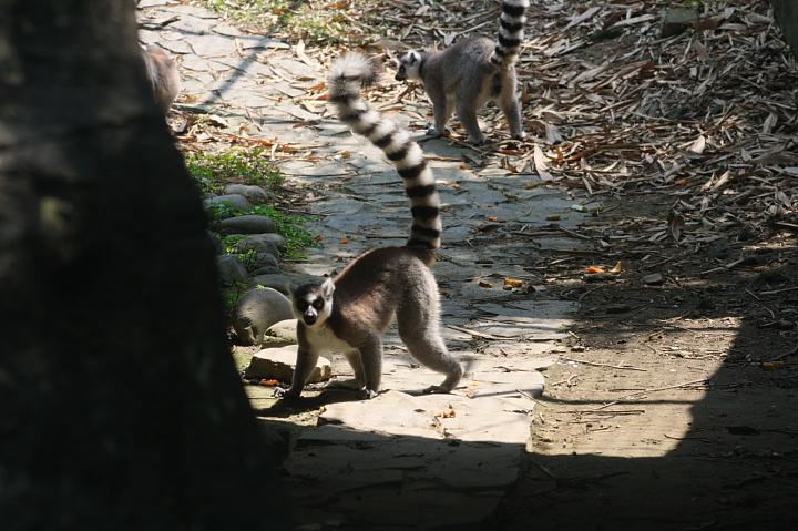木柵動物園(環尾狐猴)027