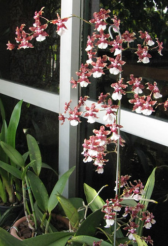 Oncidium Sharry Baby Sweet Fragance
