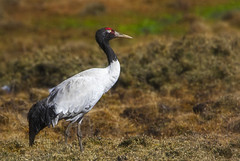 Black-necked Crane (Rajiv Lather) Tags: camera india bird birds canon lens bhutan image wildlife birding aves telephoto photograph leh birdwatching ladakh avifauna vulnerable jammukashmir gruidae blackneckedcrane grusnigricollis
