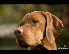 aaron (Heinz Petzner) Tags: portrait pet nikon aaron sigma hund haustier 150mm hungarianpointer magyarvizsla d700 heinzpetzner