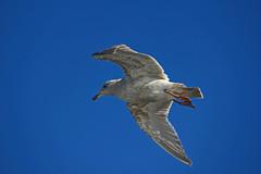 IMG_6022 (Galeon Fotografia) Tags: naturaleza bird nature seagull natur ave mwe gaviota meeuw gabbiano vogel mouette gaivota fgel ibon ms  zeemeeuw  seemwe hegazti  fiskms vol kalikasan nyuni
