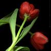 Dos Señoritas (m@®©ãǿ►ðȅtǭǹȁðǿr◄©) Tags: barcelona flowers españa flores canon tulips tulipas catalunya tulipanes ripollet canoneos400ddigital m®©ãǿ►ðȅtǭǹȁðǿr◄© marcovianna canonef28÷80mmf3556 dosseñoritas