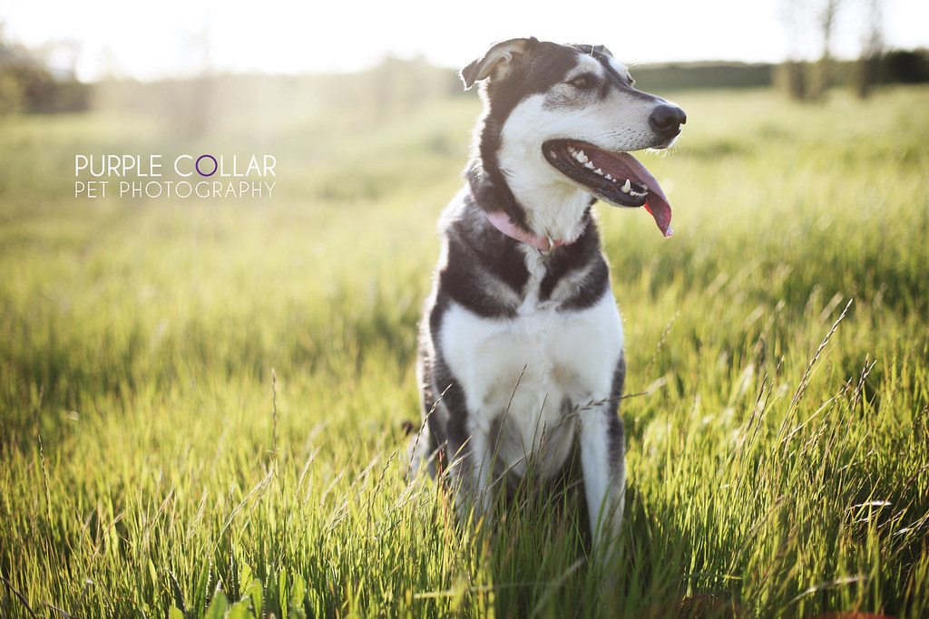 Cocoa -- Purple Collar Pet Photography: Sacramento and San Francisco Bay Area Pet Photography