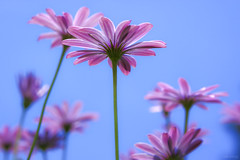 Towards the blue sky (-clicking-) Tags: pink flowers blue macro floral beautiful up closeup garden spring flora dof purple blossom bokeh bluesky vietnam bloom lovely dalat towards springtime floralart artflowers vietnameseflowers