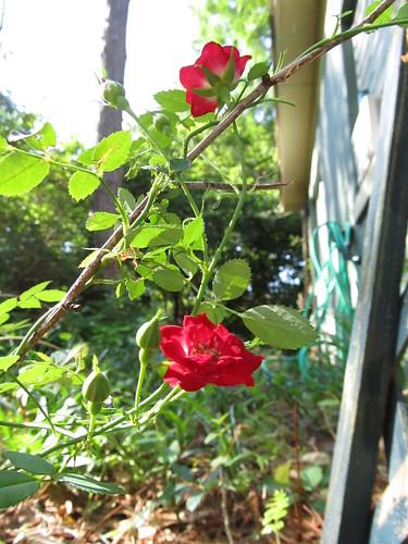 Morning sun on roses