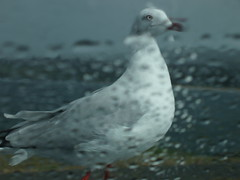 One wet gull (ally portugal) Tags: snowymountains southnsw heidisteahouse lakejidabyne