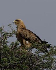 Raubadler - Tawny Eagle (jaffles) Tags: nature birds animals southafrica tiere nationalpark wildlife natur adler olympus raptor afrika vögel kalahari e5 raubvögel kgalagadi