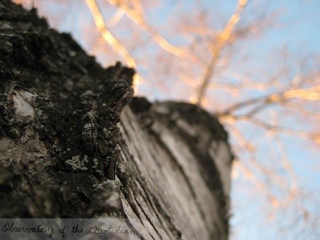 birch_tree04.JPG