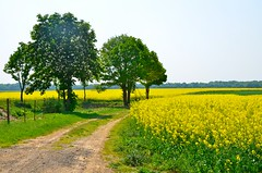 country road (juliette photo) Tags: road flowers trees wallpaper flower tree yellow jaune spring path country champs rape route arbres land campagne printemps fleuri chemin fiels rapeseed colza countryland