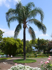 In the municipal gardens (gideonc) Tags: plant flower tree palm madeira funchal municipalgardens