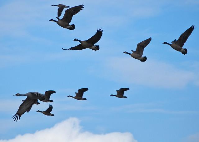 Crane Leads Geese