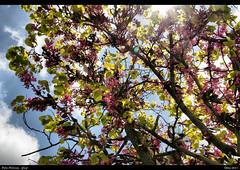 Pink (Polis Poliviou) Tags: life flower tree green heritage nature beauty leaves leaf spring village cipro polis artiste zypern larnaka fiap chypre chipre cipru  lovecyprus  mediterraneanisland  odou poliviou   allrightsreservedbypolispoliviou   cyprusinyourheartafiap